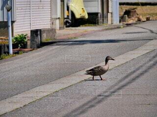 動物,鳥,屋外,歩く,道路,道,立つ,横断歩道,歩道,地面,鴨,通り,カモ,水鳥,横断