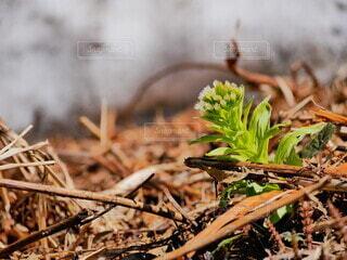 春,田舎,畑,成長,雪国,新芽,雪どけ,耕作,芽吹き,ふき,蕗の薹,雪解け,フキ,ふきのとう,雪融け