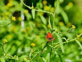 自然,花,動物,屋外,黄色,樹木,昆虫,蝶々,蝶,ちょうちょ,景観,草木,ベニシジミ,シジミチョウ,蛾や蝶
