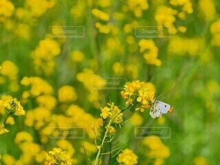 花,動物,緑,葉,黄色い花,蜂,昆虫,蝶々,蝶,ちょうちょ,草木,アブラナ科,花粉媒介,蛾や蝶,ツマキチョウ