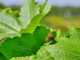 動物,緑,葉,昆虫,蝶々,蝶,草木,ベニシジミ,シジミチョウ,花粉媒介,蛾や蝶