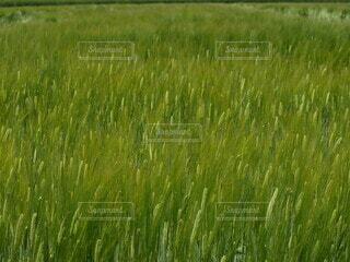 自然,風景,屋外,植物,麦畑,景色,水田,麦,草,背景,模様,畑,テクスチャ,作物,草木