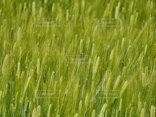 自然,風景,植物,麦畑,景色,麦,背景,模様,畑,テクスチャ,作物,草木