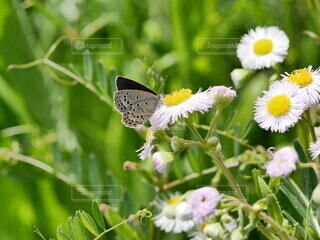 風景,花,動物,屋外,昆虫,蝶,ハルジオン,ヒメジョオン,草木,シジミチョウ,ヒメジオン,蛾や蝶