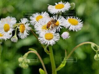 風景,花,動物,屋外,黄色,蜂,昆虫,ミツバチ,ハチ,ハルジオン,ヒメジョオン,草木,ヒメジオン