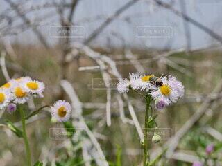 風景,花,屋外,植物,黄色,ハルジオン,ヒメジョオン,草木,花粉,害虫,ハナムグリ,ヒメジオン