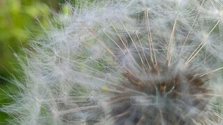 花,白,草木,タンポポ,クローズ アップ
