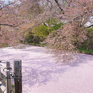ピンクの絨毯🌸の写真・画像素材[4371922]
