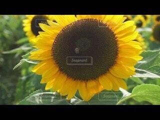 花,夏,ひまわり,黄色,向日葵,蜂,ひまわり畑,ミツバチ,草木,蜜蜂,ヒマワリ,動画,ヒマワリの種,ひまわりと蜂