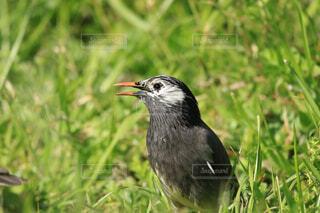 餌の探してる鳥の写真・画像素材[4375408]