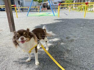 家族,犬,公園,動物,チワワ,屋外,晴天,ペット,地面,愛犬,お散歩,小型犬