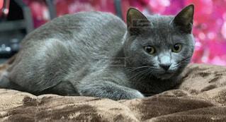 猫,動物,屋内,寝転ぶ,子猫,グレー,ネコ科