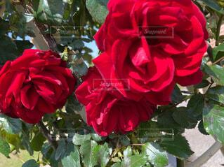 花,赤,バラ,花びら,草木