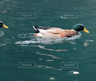 風景,動物,鳥,屋外,湖,水面,泳ぐ,スワン,鴨