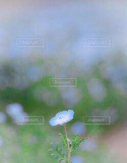 花,青,可愛い,ネモフィラ,草木