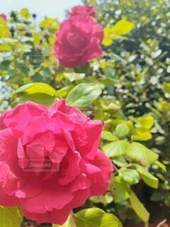 生命力あふれる大輪の赤いバラの写真・画像素材[4384859]