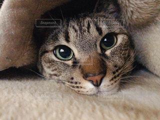 猫,動物,屋内,かわいい,目,Cute,髭,ネコ科