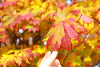 秋,葉,樹木,人物,人,草木,メープル,カエデ,カエデの葉,シルバーメープル
