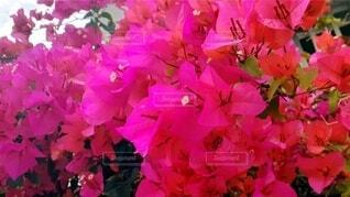 花,ピンク,無加工,ブーゲンビリア,草木