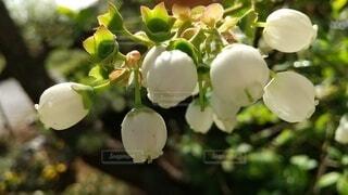 自然,花,春,屋外,緑,植物,樹木,草木,ブルーベリーの花