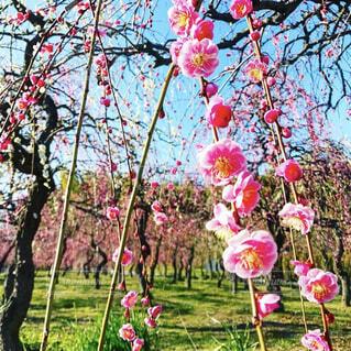 辺り一面可愛いピンクの梅の花の写真・画像素材[4377713]