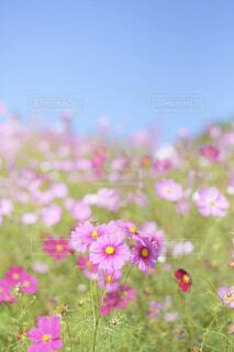 自然,花,春,花畑,コスモス,青空,花びら,草木
