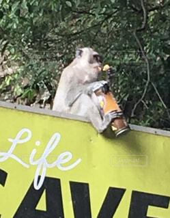 猿,動物,屋外,海外,樹木,マレーシア,プリングルス