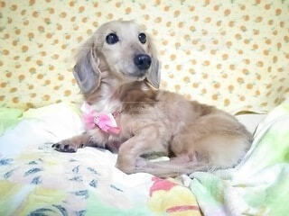 犬,動物,屋内,かわいい,景色,子犬,ベッド