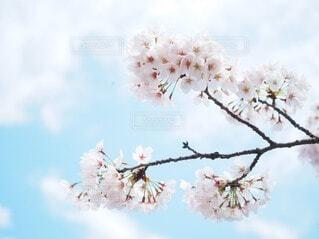 空,花,春,桜,屋外,青,草木,さくら,ブロッサム
