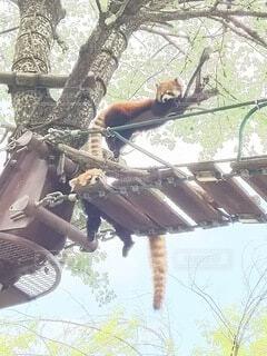 動物,屋外,かわいい,樹木,リラックス,レッサーパンダ