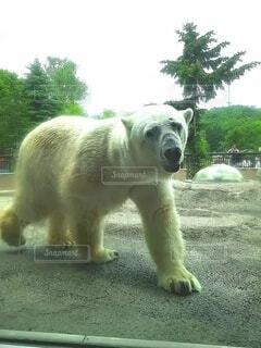 動物,屋外,緑,白,樹木,ホッキョクグマ,シロクマ,クマ,北極熊