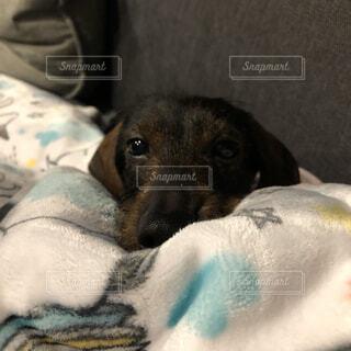 犬,動物,屋内,かわいい,景色,寝転ぶ,可愛い,子犬,カニンヘンダックス,きゅん,眠い犬
