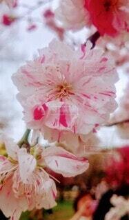 風景,花,春,桜,ピンク,景色,花びら,草木,ブルーム,ブロッサム
