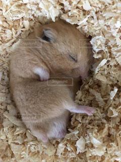 動物,ハムスター,かわいい,ゴールデンハムスター,寝方,熟睡
