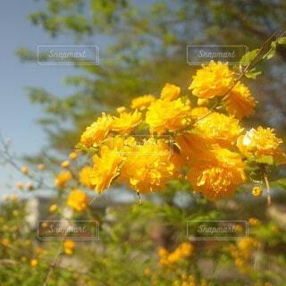 自然,花,屋外,黄色,樹木,草木,アキノキリンソウ,フローラ