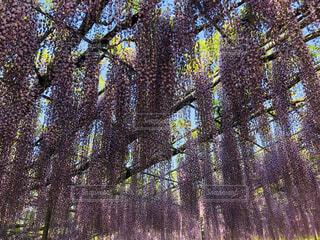 花,森林,屋外,紫,葉,景色,樹木,藤の花,草木,あしかがフラワーパーク,大藤