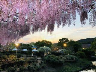 空,花,夕日,屋外,景色,藤の花,あしかがフラワーパーク,ガーデン