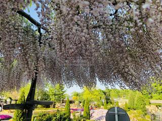 風景,花,屋外,緑,景色,樹木,風,藤の花,カラー,ガーデン