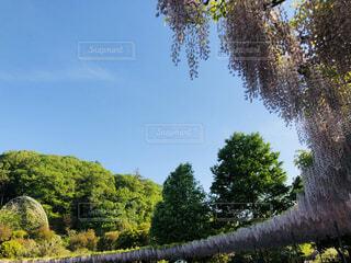 風景,花,屋外,緑,紫,景色,樹木,藤の花,カラー,ガーデン