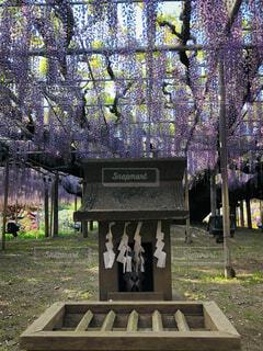 風景,屋外,緑,紫,景色,藤の花,カラー,ガーデン,御賽銭箱