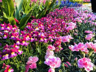 風景,花,屋外,ピンク,花びら,カラー,草木,ガーデン