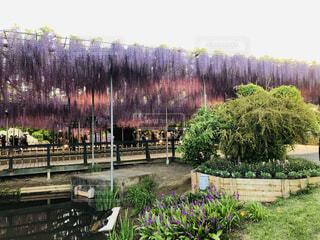 風景,花,屋外,緑,紫,池,ライトアップ,藤の花,カラー,ガーデン