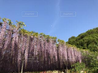 風景,空,花,緑,紫,月,藤の花,カラー