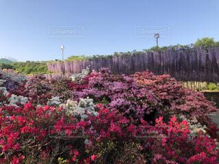 風景,空,花,ピンク,緑,赤,紫,ツツジ,藤の花,カラー