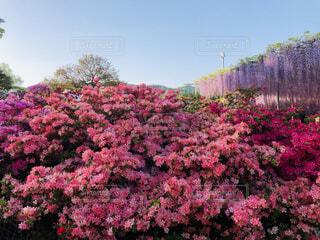 風景,空,花,ピンク,赤,紫,ツツジ,藤の花,カラー