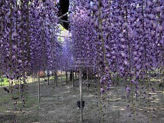 風景,花,紫,藤の花,カラー