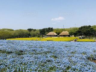 自然,風景,空,花,屋外,菜の花,景色,ブルー,ネモフィラ,国営ひたち海浜公園