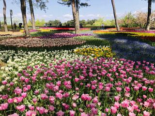 空,花,春,屋外,ピンク,景色,チューリップ,樹木,カラー,国営ひたち海浜公園,草木,ガーデン