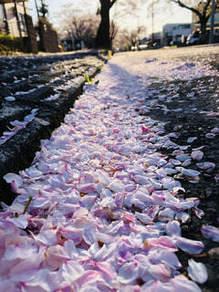 花,春,桜,ピンク,花びら