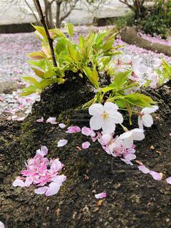 花,桜,屋外,ピンク,緑,花びら,樹木,新緑,地面,草木,ガーデン